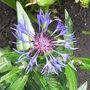 Centaurea_montana