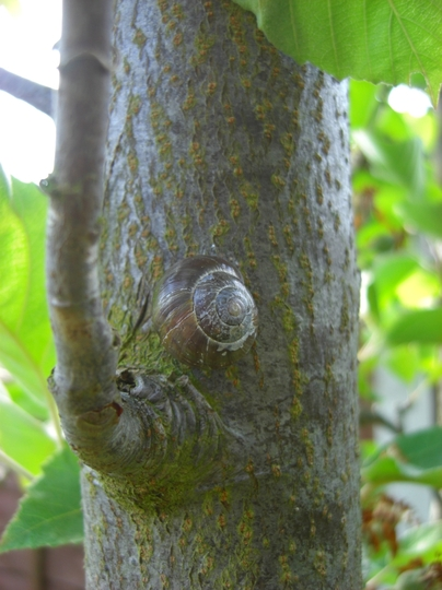 Snail with a head for heights