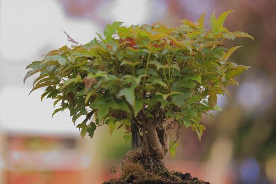 Trident Maple Bonsai (Acer buergerianum (Trident Maple))