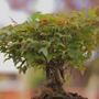 Trident Maple Bonsai (Acer buergerianum (Trident Maple))