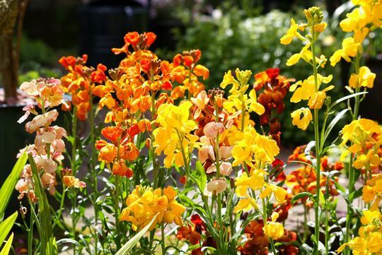 Wallflowers (Erysimum cheiri (Goldlack))