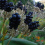 Blackberry lily seed head