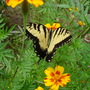 Marigold with  Eastern Tiger Swallow-tail butterfly (Calendula officinalis)