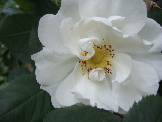 Rosa Alba Semi Prena