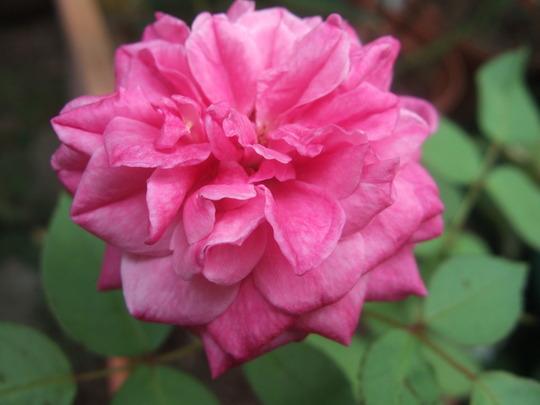 Malmaison Rouge