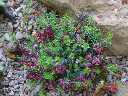 Heather 1 (Erica carnea 'Red Jewel')