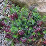 Erica_carnea_red_jewel_