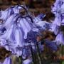 Bluebell flower detail (Hyacinthoides non-scripta)