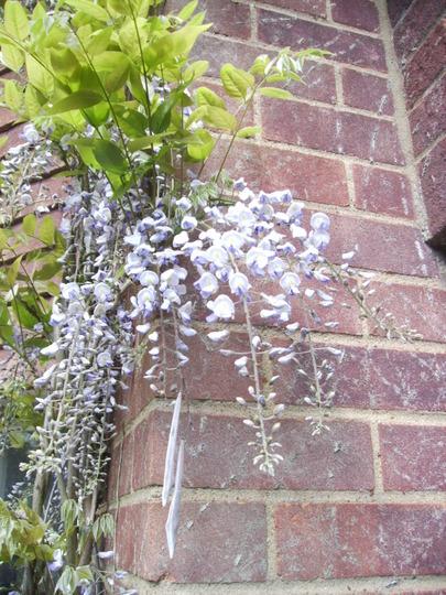 Wisteria Flowers 05.09 (Wisteria sinensis)