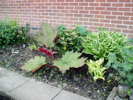Rheum Palmatum (Rheum palmatum (Chinese rhubarb))