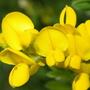 Sweet broom (Birds-Foot Trefoil) flowers (Lotus corniculatus (Birds-Foot Trefoil))