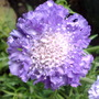 Scabiosa 'Butterfly Blue Beauty' (Scabiosa atropurpurea (Pincushion flower))