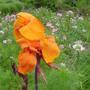 Canna lily (Canna L)