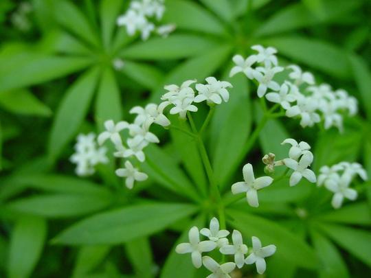 Sweet Woodruff (Asperula odorata)