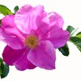 Wild rose with background removed