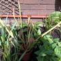 Sarracenia 'Pitcher Plant' (Sarracenia)