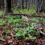the ferns and the trilliums rise out of the leaf mould...