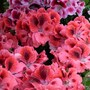 Pelargoniums ~ Martha Washingtons (Pelargonium domesticum)