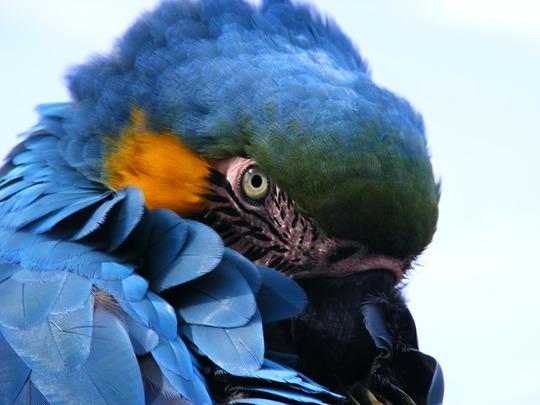 Rodney....Blue & Gold Macaw