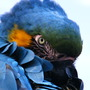 Rodney....Blue & Gold Macaw