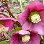 hellebore steals the show (Helleborus orientalis (Lenten rose))
