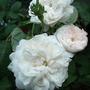 Blanche Fleur