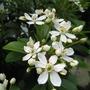 Mexican Orange Blossom (Choisya ternata (Mexican orange blossom))