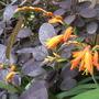 Cotinus (Smoke Bush) (Cotinus coggygria (Smoke bush))