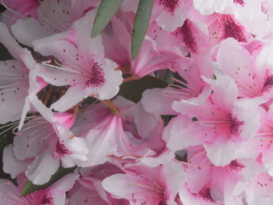Rhododendron. (Rhododendron.)
