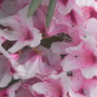 Rhododendron.1