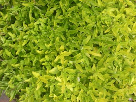 Golden Marjoram. (Origanum majorana (Marjoram))