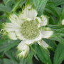 Astrantia_major_alba_2009