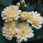 Rosa Bankshire Lutea.jpg