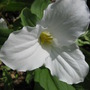 Trillium...Ontario's provincial flower emblem