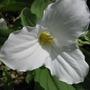 Trillium...Ontario's provincial flower emblem
