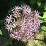 Allium with Bee!