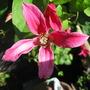 Clematis - Princess Diana (Clematis texensis (Scarlet Clematis))