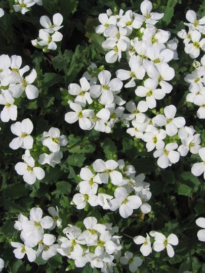 rockcress (Arabis alpina (Alpine Rock-cress))