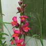 A garden flower photo (Antirrhinum majus)