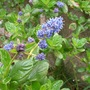 A garden flower photo (Ceanothus)