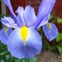 Iris 4-05-09.