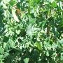 Mangetout are growing