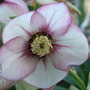 Hellebores Single Pink  Pikotee Dark Flash Nectaries.jpg