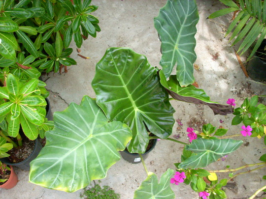 Alocasia 'Brian Williams Hybrid' (Alocasia 'Brian Williams Hybrid')