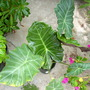Alocasia_williams_hybrid