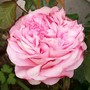 My first Rose of the season...... (Rosa 'Abraham Darby')