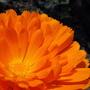 """Calendula """"Pot Marigold"""""""