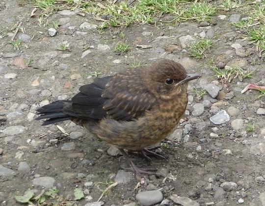 Fledgling blackbird.