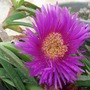 my succulent/Carpobrotus edulis(Hottentot Fig) (Carpobrotus edulis (Hottentot Fig))