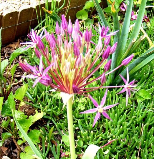 Allium Albospilosum.flower  (Allium albopilosum)